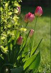 Spring Tulips by barcon53