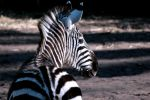 Zimbabwe or Zoo Zebra by Kracoucas