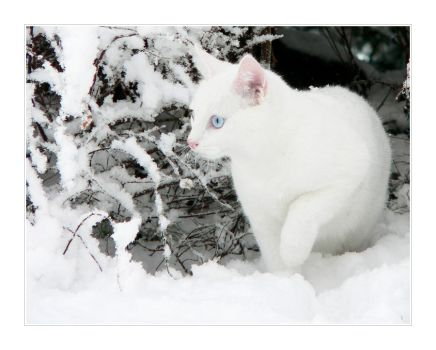 White Snow + White Cat II by ace-of-finland