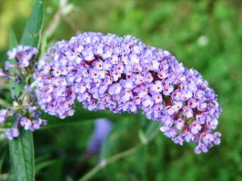 Butterfly Bush Blooms by Autumn-Gracy