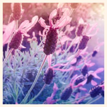 Lavenders by pixi3angeldreamx