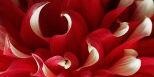 Dahlia Curls by TruemarkPhotography