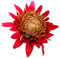 Too sweet: ants on red Gerbera by laxmikantchaware