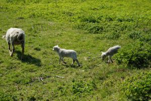 Stock36sheep by BAproductions
