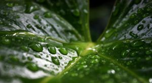 Water Droplets on the Leaf. by mekwii