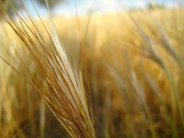 Windy Wheat by AyalaPhotography
