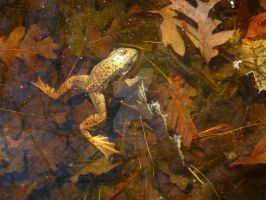 Frog by artisLove11