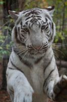 0388 - White Tiger by Jay-Co
