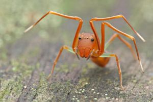 Amyciaea lineatipes by melvynyeo
