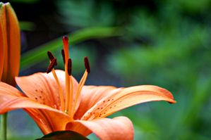 Lily by looking4myleopard