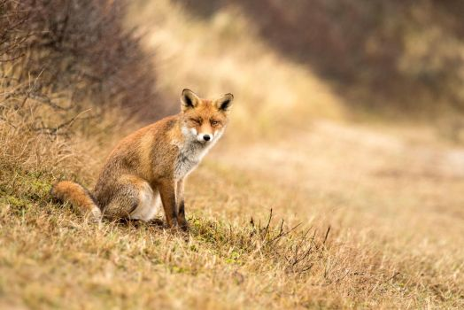 Young Red Fox by AngelaLouwe