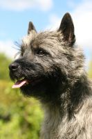 Malla, the Cairnterrier by SaNNaS