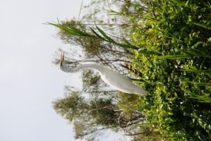 Great White Egret - Bayou Savage by Shadow848327