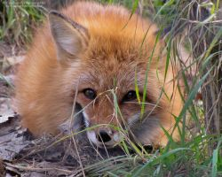 Young Red Fox 835 by caybeach