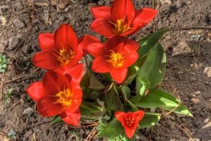 Little Red Flowers HDR by greenwalled1