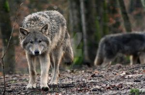 European Wolf III by OK-Photography