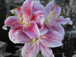Lily by 440am