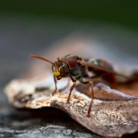 The Angry Wasp by FireflyPhotosAust