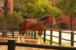 Clydesdale by F-DStock
