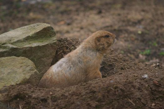 Groundhog I by expression-stock