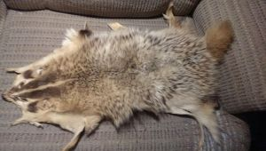 For Sale: Badger Pelt $75 by talakestreal