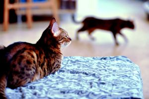 two bengal cats by Utilikiltarian