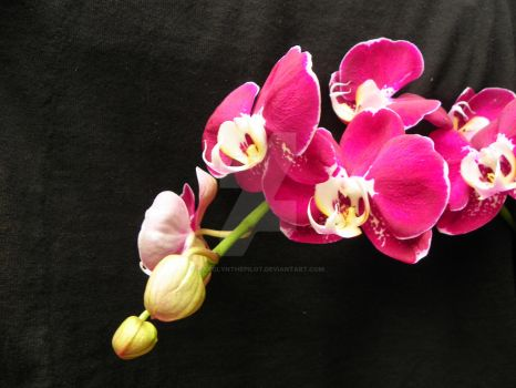 ORCHIDS AS ART by carolynthepilot