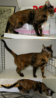 Tortie poses by Leonca