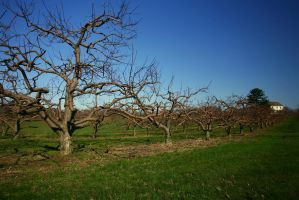 Apple Trees by Doumanis