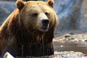 Grizzly 1 by Sagittor