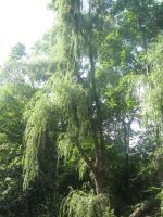 Weeping Willow at Copake falls by Hermione75