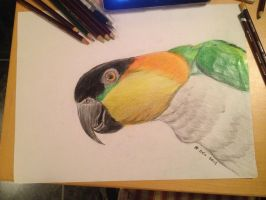 Nemo the Parrot in derwents color soft pencils by Jylm75