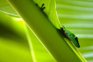 GREEN GECKO by goldhamster