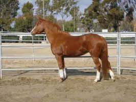 Chestnut Welsh / Thoroughbred Mare by HorseStockPhotos