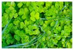 Irish Wood Sorrel by blakejnolan