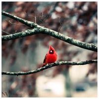 Winter Cardinal by NV-Photo