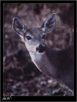 Whitetail Doe by SteelCowboy