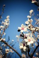 Almond flowers by Mad-hatt3r