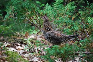 Ruffed Grouse by Pagan-Inspiration