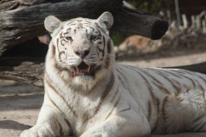 White tiger by Lightningflickr