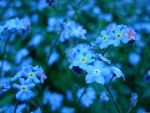 forget-me-not flowers 4 by snorasaurus
