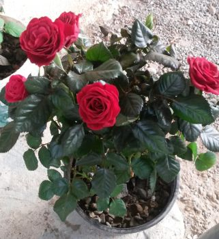 Just some red roses by Wael-sa