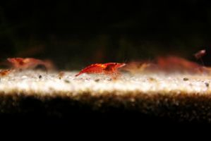 Red Cherry by Aiseant