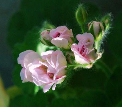 Pale Pink Geranium by photoquilter