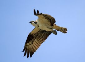 Osprey by sgt-slaughter