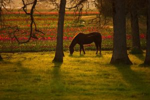 Sunset Tulip Fest by pyro303