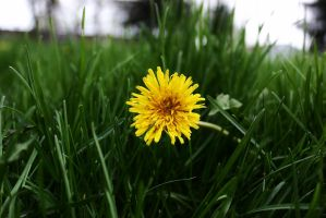 Dandelion 2 by OneLifeOneTime