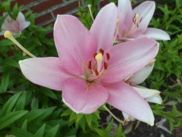 Oriental lily by furyanwolf13
