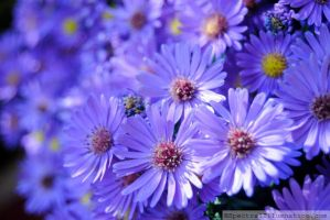 Purple Asters III by charliemarlowe