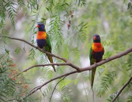 Rainbow Lorikeet 06 by aussiegal7